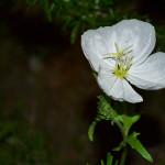 幻の白い花